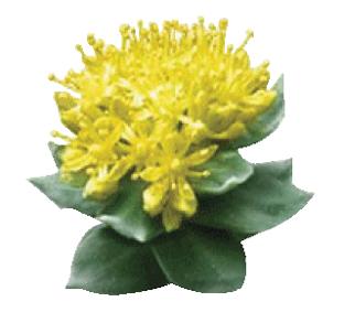 [:fr]RHODIOLA ROSEA Ampoules NATURE HEALTH[:en]RHODIOLA ROSEA Vials Nature Health[:]